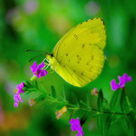 Common Grass Yellow Butterfly pic 2 , 6 Common Grass Yellow Butterfly Pictures In Butterfly Category
