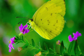Common Grass Yellow Butterfly pic 2 in Spider