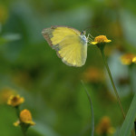 Common Grass Yellow Butterfly pic 3 , 6 Common Grass Yellow Butterfly Pictures In Butterfly Category