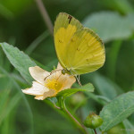 Common Grass Yellow Butterfly pic 4 , 6 Common Grass Yellow Butterfly Pictures In Butterfly Category