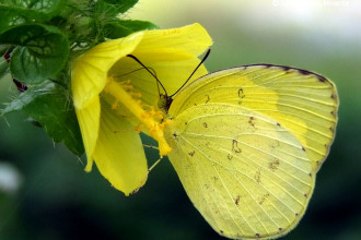 Common Grass Yellow Butterfly Pic 5 , 6 Common Grass Yellow Butterfly Pictures In Butterfly Category