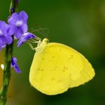 Common Grass Yellow Butterfly pic 6 , 6 Common Grass Yellow Butterfly Pictures In Butterfly Category