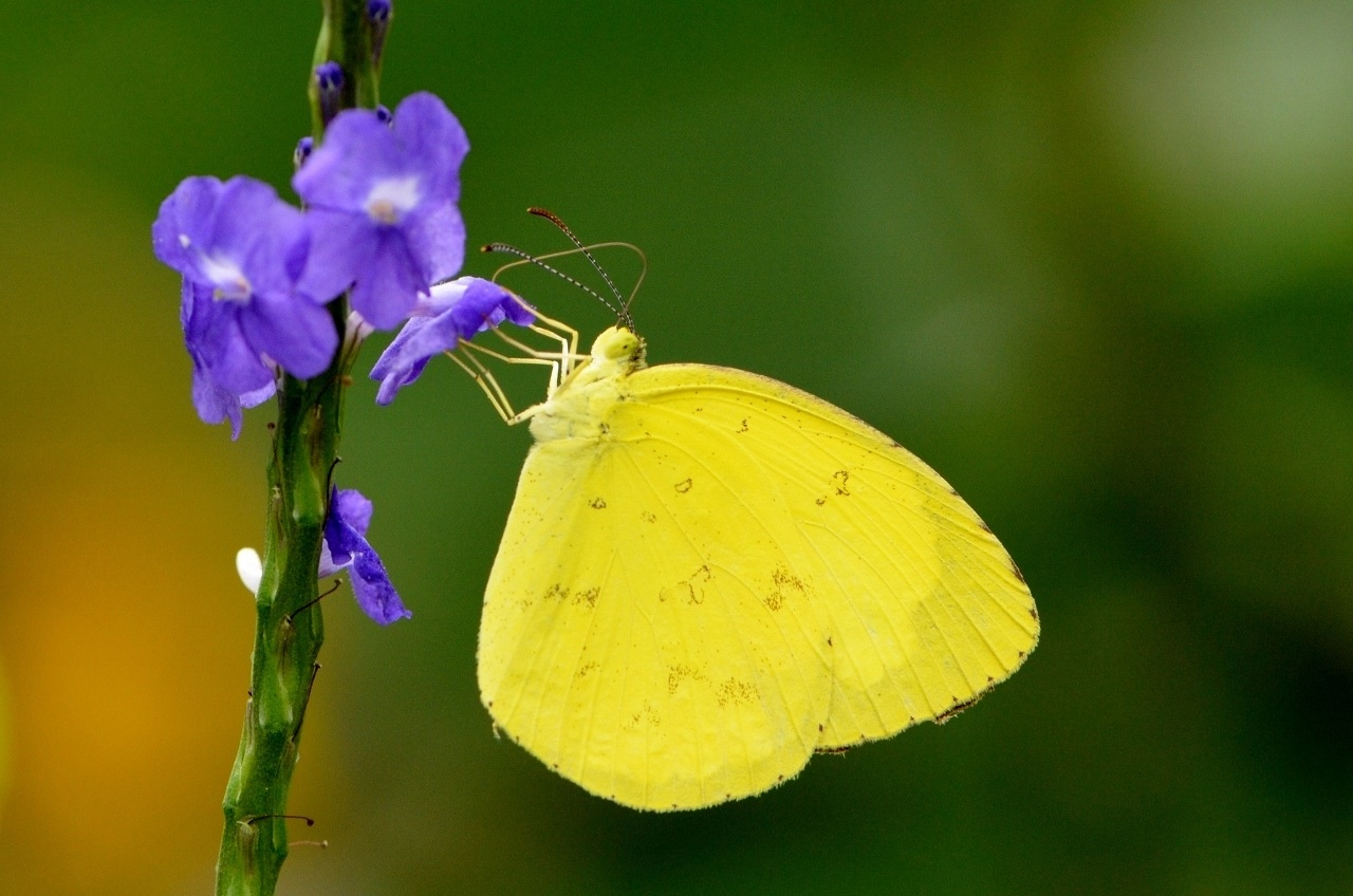Common Grass Yellow Butterfly Pic 6 6 Common Grass