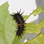 Common birdwing butterfly caterpillar , 7 Common Birdwing Caterpillar Photos In Butterfly Category