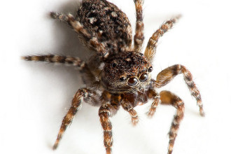 Commons Brown Hairy Spider , 6 Commons Brown Hairy Spider In Spider Category