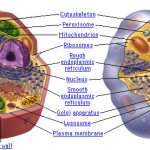 Compare the Components of Plant and Animal Cells , 5 Plant And Animal Cell Comparison Images In Cell Category