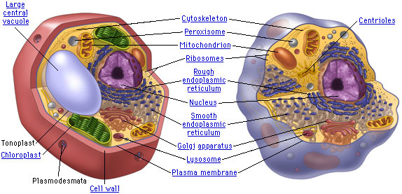 Cell , 5 Plant And Animal Cell Comparison Images : Compare The Components Of Plant And Animal Cells