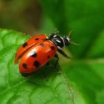 Convergent Ladybug Beetle , 6 Lady Bug Beetles In Beetles Category