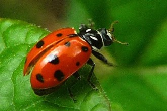 Beetles , 6 Lady Bug Beetles : Convergent Ladybug Beetle
