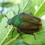 Cotinis nitida Beetle , 7 Green Beetle Bug In Beetles Category