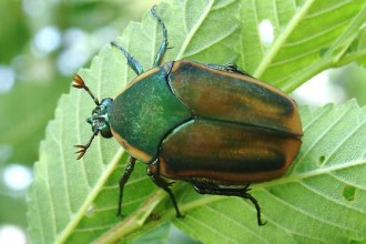 Cotinis Nitida Beetle , 7 Green Beetle Bug In Beetles Category