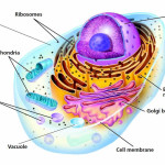 Cross Section Of An Animal Cell Labeled , 3 Cross Section Of An Animal Cell In Cell Category