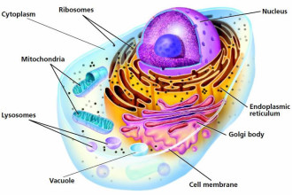 Cross Section Of An Animal Cell Labeled in Genetics