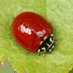 Cycloneda polita Lady Beetle with no spots , 6 Lady Bug Beetles In Beetles Category