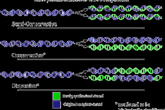 DNA Replication , 6 Dna Semi Conservative Replication Animation In Cell Category