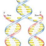 DNA Replication pictures , 5 Animated Dna Replication In Cell Category