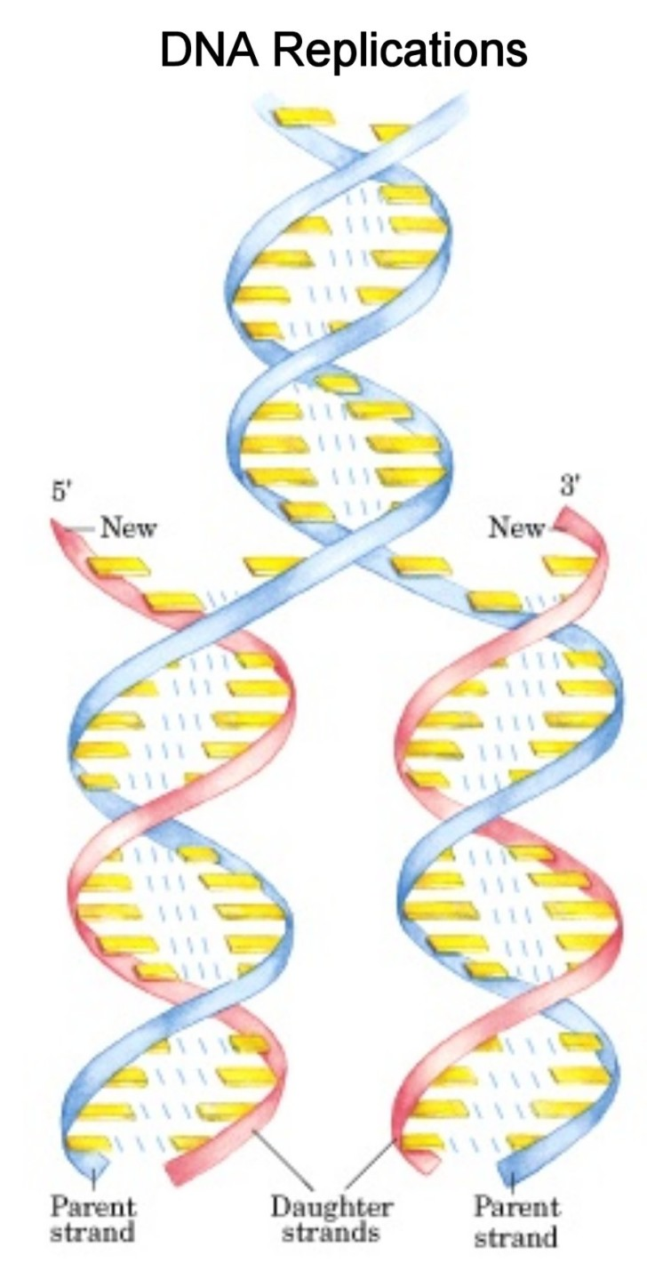 Cell , 5 Animated Dna Replication : DNA Replication Pictures