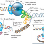DNA Replication , 5 Animated Dna Replication In Cell Category