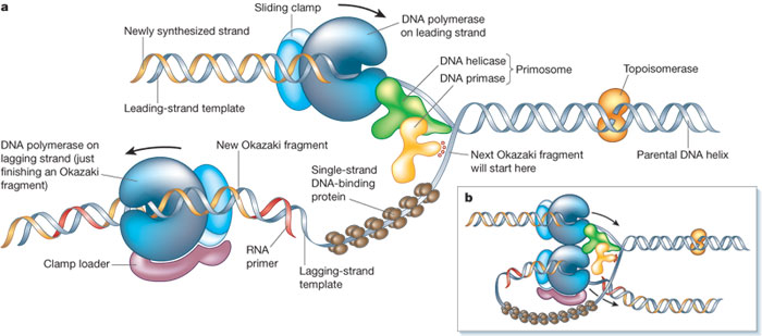 Cell , 5 Animated Dna Replication : DNA Replication