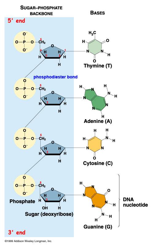 dna structure diagram biological science picture. Black Bedroom Furniture Sets. Home Design Ideas