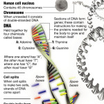 DNA Works Poster , 2 Dna Replication Poster In Cell Category
