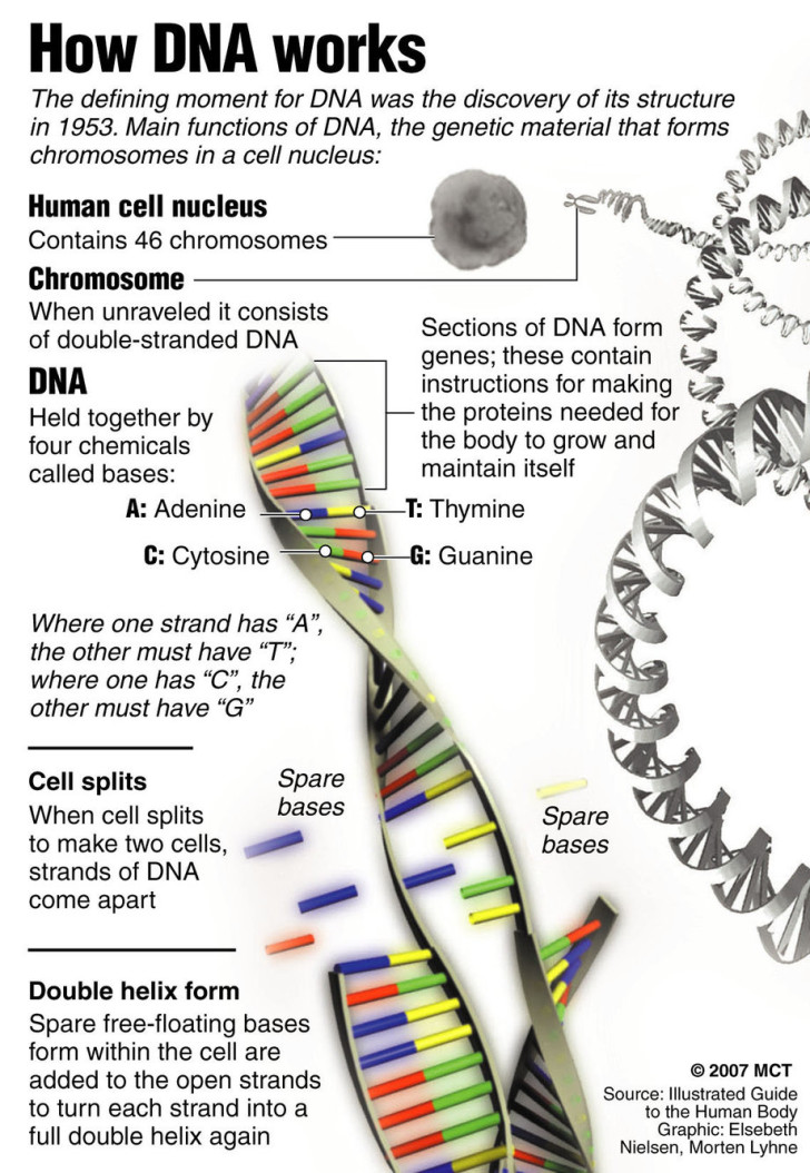 Cell , 2 Dna Replication Poster : DNA Works Poster