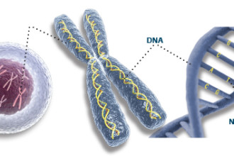 DNA Chromosomes Animal Cell , 5 Animal Cell Chromosomes Images In Cell Category
