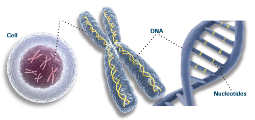Chromosome In A Animal Cell