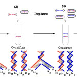 DNA replication conservativea and semiconservative , 6 Dna Semi Conservative Replication Animation In Cell Category