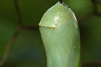Danaus plexippus Chrysalis in Plants