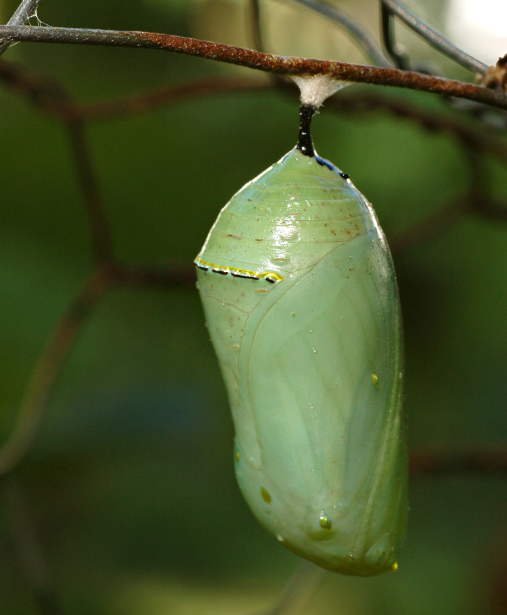 Butterfly , 7 Monarch Butterfly Pupa Photos : Danaus Plexippus Chrysalis
