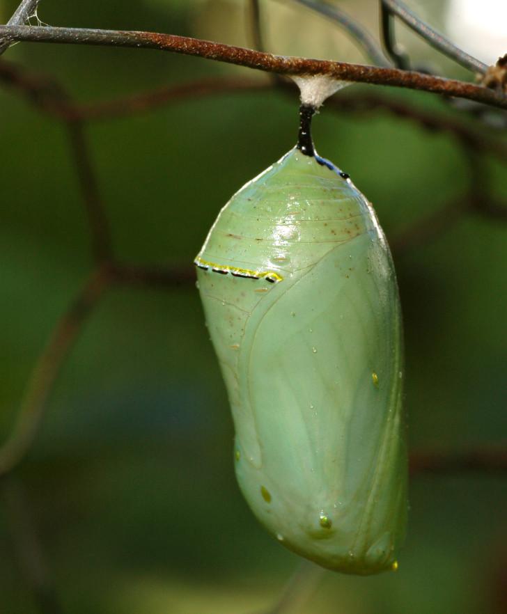 Butterfly , 7 Monarch Butterfly Pupa Photos : Danaus Plexippus Chrysalis