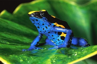 Dendrobates Tinctorius In The Lowland Rain Forest , 5 Poison Arrow Frog Rainforest Animals In Amphibia Category