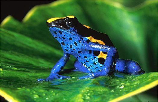 Amphibia , 5 Poison Arrow Frog Rainforest Animals : Dendrobates Tinctorius In The Lowland Rain Forest