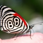 eighty eight butterfly photos photos , 7 Pictures Of Eighty Eight Butterfly In Butterfly Category