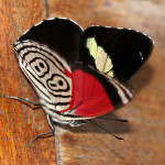 Diaethria clymena janeira , 7 Pictures Of Eighty Eight Butterfly In Butterfly Category