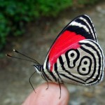 Diaethria clymena janeira butterfly , 7 Pictures Of Eighty Eight Butterfly In Butterfly Category