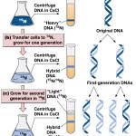 Dna Replication Semiconservative , 6 Dna Semi Conservative Replication Animation In Cell Category