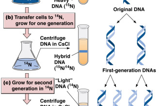 Dna Replication Semiconservative , 6 Dna Semi Conservative Replication Animation In Cell Category