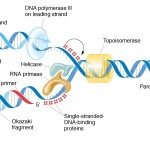 Dna Replication Semiconservative images , 6 Dna Semi Conservative Replication Animation In Cell Category