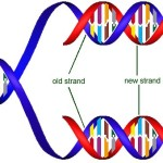Dna Replication Semiconservative pictures , 6 Dna Semi Conservative Replication Animation In Cell Category