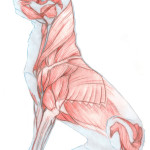 Dog Muscles images , 4 Canine Anatomy Muscles Pictures In Muscles Category