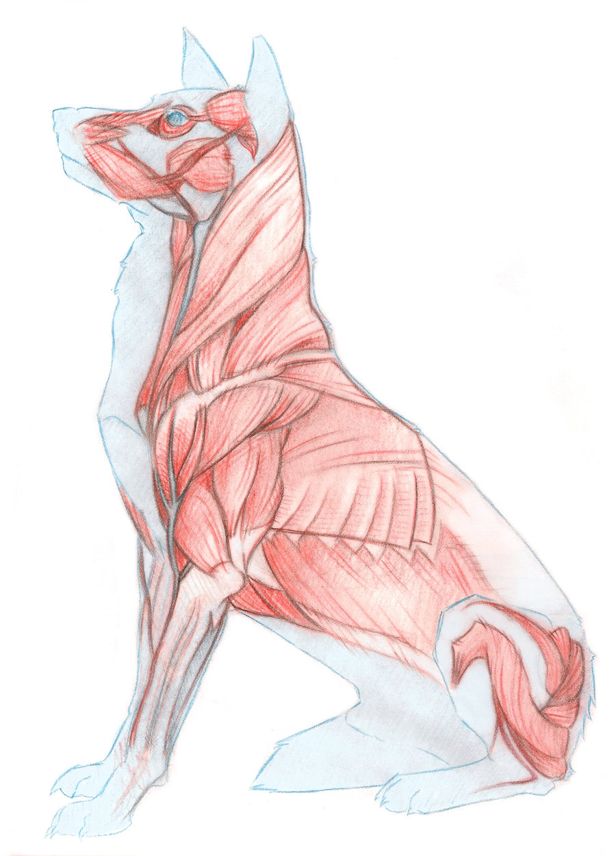 Dog Muscles Images : 4 Canine Anatomy Muscles Pictures | Biological ...