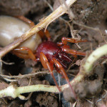 Dysdera crocata , 6 Pictures Of Red And Brown Spider In Spider Category
