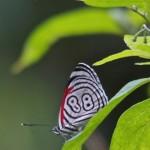 Eighty Eight Butterfly , 7 Pictures Of Eighty Eight Butterfly In Butterfly Category