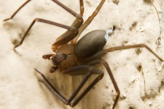Eliminating & Preventing Brown Recluse Spider , 6 Brown Lacrosse Spider Pictures In Spider Category