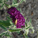 Empire Blue Butterfly Bush , 6 Empire Blue Butterfly Bush Pictures In Plants Category