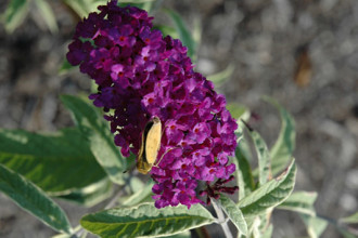 Empire Blue Butterfly Bush in Cell