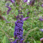Empire Blue Flower , 6 Empire Blue Butterfly Bush Pictures In Plants Category
