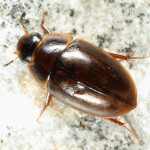 Enochrus ochraceus Water Beetle , 7 Water Bug Beetle In Beetles Category